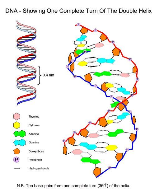 Academic biology biology stuff pinterest worksheets ccuart Gallery