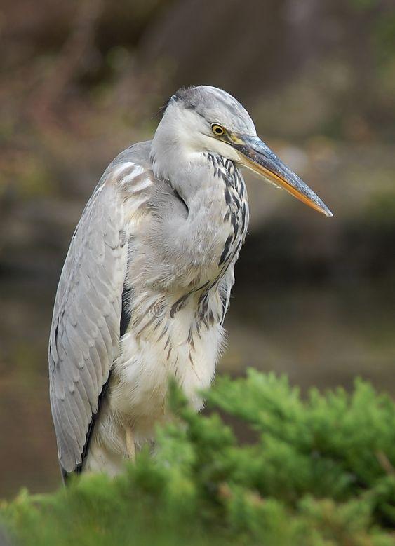 Grey heron(Ardea cinerea)アオサギ