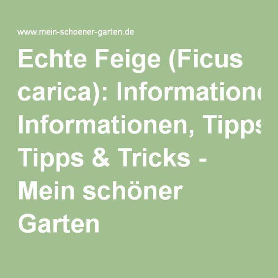 Echte Feige (Ficus carica): Informationen, Tipps & Tricks - Mein schöner Garten