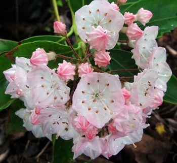 Kalmia - Mountain Laurel.  I. Love. This. Plant.