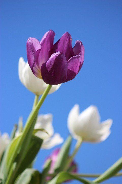 Pin Oleh Een Hermina Di Yang Saya Simpan Di 2021 Bunga Tulip Gambar Bunga Bunga
