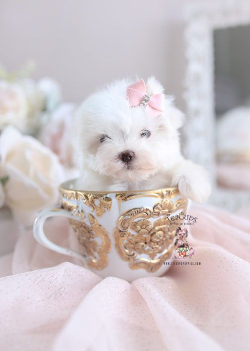Maltese Puppy For Sale 290 Maltese Puppy Maltese Breed Puppies For Sale