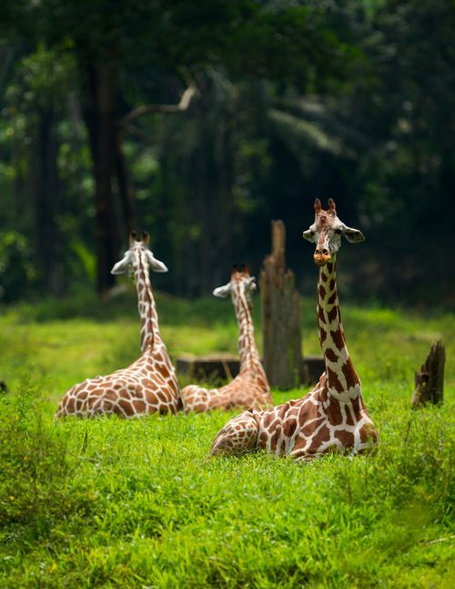 Giraffes! males—up to 3000 pounds - females—up to 1500 pounds  -  chillin