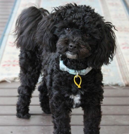 My Name Is Oliver I M A Shih Tzu Toy Poodle Puppy Cross And I M A Shihpoo Not A Schnoodle Or A Schmoodle Shih Poo Schnoodle Dog Poodle Puppy
