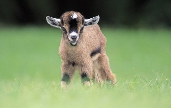 Cute Baby Pygmy Goats Compilation Everyone sometimes need some cute goat video to brighten their day. These cute pygmy goat kids will make you smile.