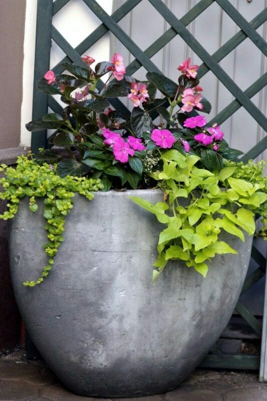 Wilec Ziemniaczany Niecierpki Begonia Smocza Tojesc Rozeslana Little Garden Container Gardening Flower Garden