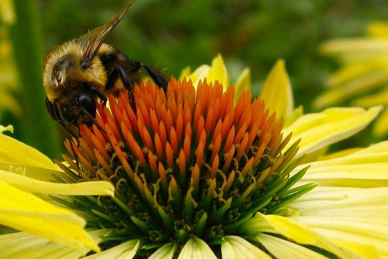 """Saturday is Pollinator Day in Peterborough"" by Matt Higgs // Learn how to help bees and other pollinators at full-day workshop on November 1."