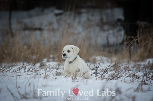 English White Lab Puppy Playing In The Minnesota Snow English Lab Puppies