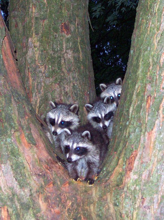 ˚Mischief - Baby Raccoons