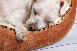 Dog to Sleep and Train to Use His Bed