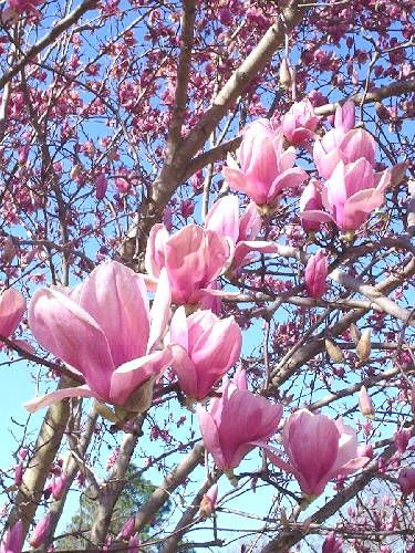 Tulip Tree/Saucer Tree/Japanese Magnolia Tree_Beautiful! *Saucer Magnolia is a multi-stemmed, spreading tree, 25 ft tall with a 20 to 30 ft spread; bright, attractive gray bark. Grows moderately fast but slows down considerably as it approaches 20 yrs of age. Large, fuzzy, green flower buds are carried through the winter at the tips of brittle branches. Blooms open in late winter to early spring often before the leaves, producing large, white flowers shaded in pink. Spectacular flower…