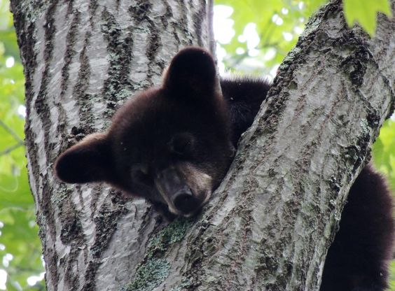Black Bear cubs of 2013 | The Wildlife Center of Virginia