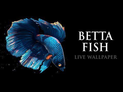 Pin On Galaxy Wallpaper Betta fish live wallpaper
