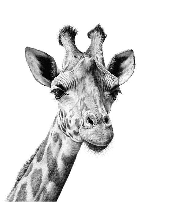 Pin By Monique Orrell On Artwork Richard Symonds Pinterest - Stunning drawings of endangered wild animals by richard symonds