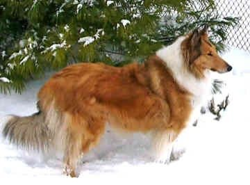 El rough collie o Lassie
