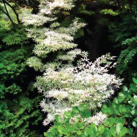Erable Japonais Acer palmatum 'Ukigumo'