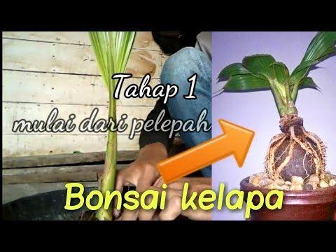 Bonsai Kelapa Cara Pangkas Daun Kelapa Agar Menjadi Kecil