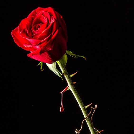 A rose with a thorn dripping blood.