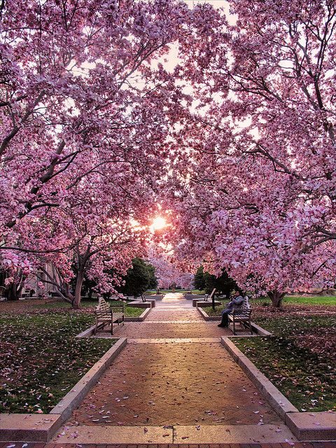 sunsurfer:    Cherry Blossom Walk, Enid A. Haupt Garden, Washington D.C.   photo by mollyt