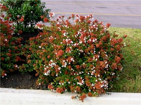 dwarf abelia what 39 s in my garden pinterest. Black Bedroom Furniture Sets. Home Design Ideas