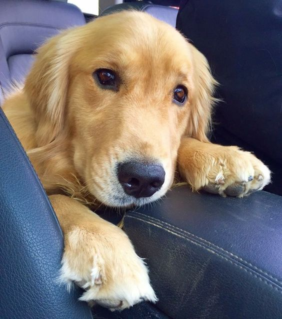 Golden Retriever                                                       …