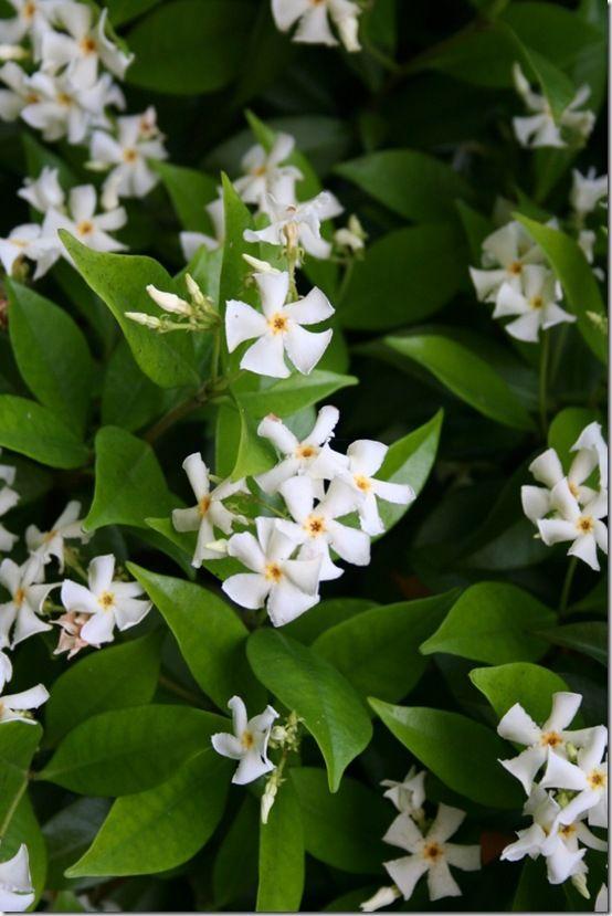 Trachelospermum jasminoides (Toscaanse jasmijn),  groenblijvend, slingert om hekwerken, takken etc. Bloeit het rijkst op een zonnige plek. Kan in kuip. Na een lange warme zomer kunnen er vruchten in de vorm van lange peulen verschijnen. Deze zijn niet eetbaar.
