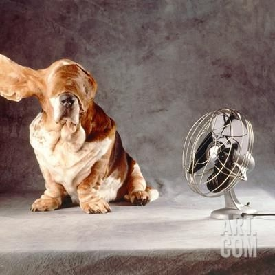 "A Basset Who Is Sitting with ""Flying"" Ears in Front of a Ventilator Photographic Print by Ingo Boddenberg at Art.com"