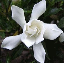 Can it be? A frost proof Gardenia!