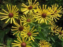 Rudbeckia subtomentosa 'Henry Eilers' - Sweet coneflower - under weeping cherry downhill from beebalm