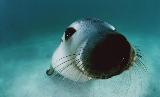Sea life through a lens: An Australian sea lion peers playfully into the camera off Hopkins Island South Australia. Photo by David Doubilet