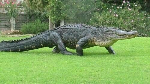 Pin By Warfield Jennifer On Walk With Me In 2020 American Alligator Alligator Alligator Image