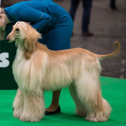 These Long Haired Dogs Make For The Best Super Shaggy Friend Long Haired Dogs Dogs Afghan Hound