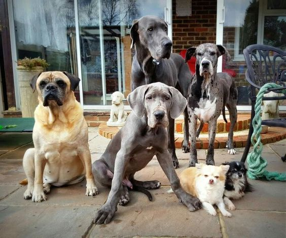 Pin By Jimmy Barry On 1 Great Danes And Dogs Dogs Animals