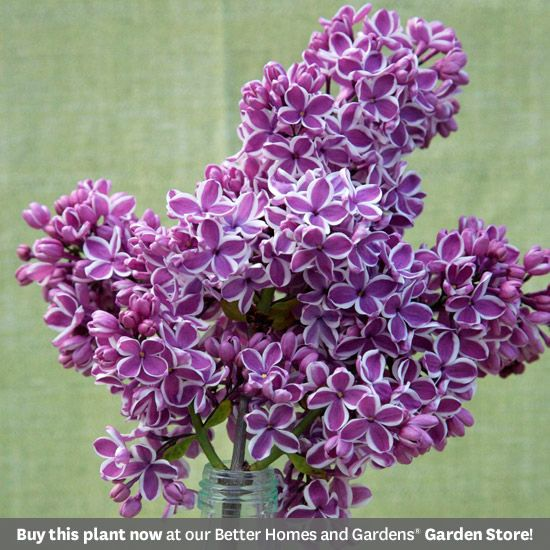 """Sensation"" ~ best selling lilac on the market, bit more expensive, fast-growing"