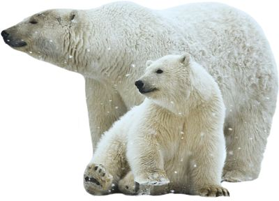 PSD Detail | Polar Bears | Official PSDs