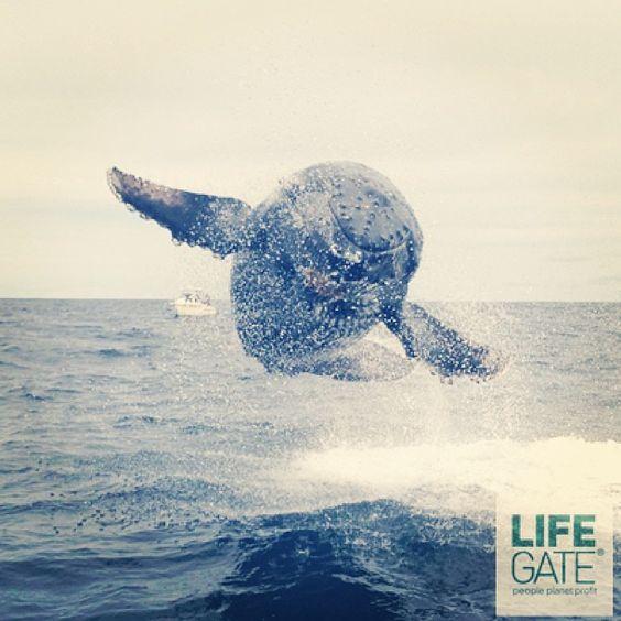 Matthew Thornton, al lavoro su un peschereccio al largo delle coste canadesi, è riuscito a fotografare il salto di un cucciolo di megattera a pochi metri di distanza dall'imbarcazione. Uno scherzo in piena regola immortalato anche da alcuni colleghi di Matthew in questo video: http://youtu.be/B10rHSW4OIA