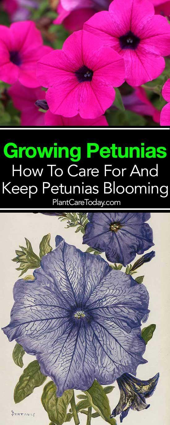 Petunia Care How To Grow And Keep Petunia Flowers Blooming Petunia Care Petunia Plant Petunias