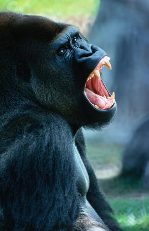 Portrait of an angry gorilla.