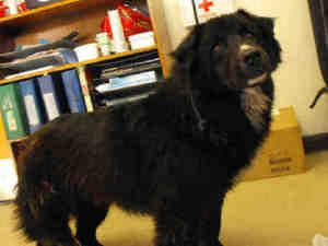 OSITO is an adoptable Chow Chow Dog in Los Angeles, CA.  ...