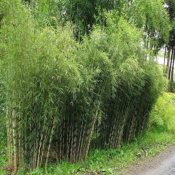 Fargesia robusta Pingwu - großer Gartenbambus