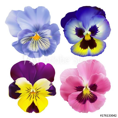 Pansy Flowers Hand Drawn Vector Illustration Of A Garden Varieties Of Viola Tricolor On Tr Realistic Flower Drawing Watercolor Flowers Paintings Flower Drawing