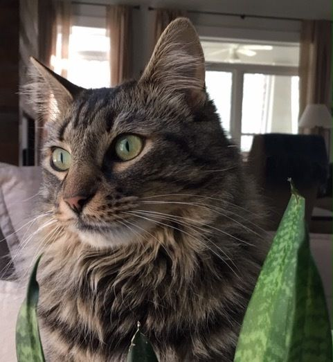 Adopt Maine Coone Cat 45 Day Courtesy Listing On Cats Homeless Pets Help Homeless Pets