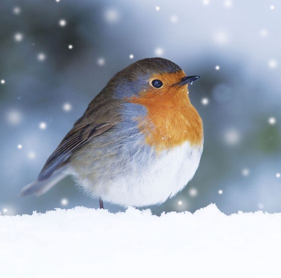 Robin in the Snow Christmas cards now available from www.gbss.org.uk/shop