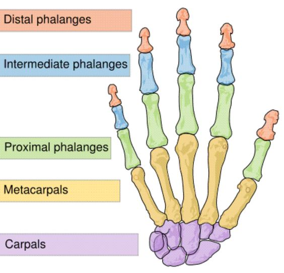 Anatomy and physiology skeletal system homework clipart