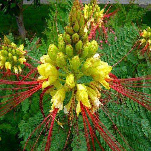 Bird of Paradise seeds Caesalpinia gilliesii 15 Samen Paradiesvogelstrauch