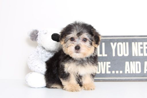 Yorkie Poo Yorkiepoo Mix Puppy For Sale In Naples Fl Adn 62918 On Puppyfinder Com Gender Male Age 11 Weeks Old Yorkie Poo Puppies Yorkie