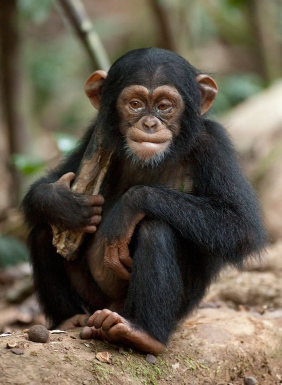 Chimpanzees, they're so cute :D:
