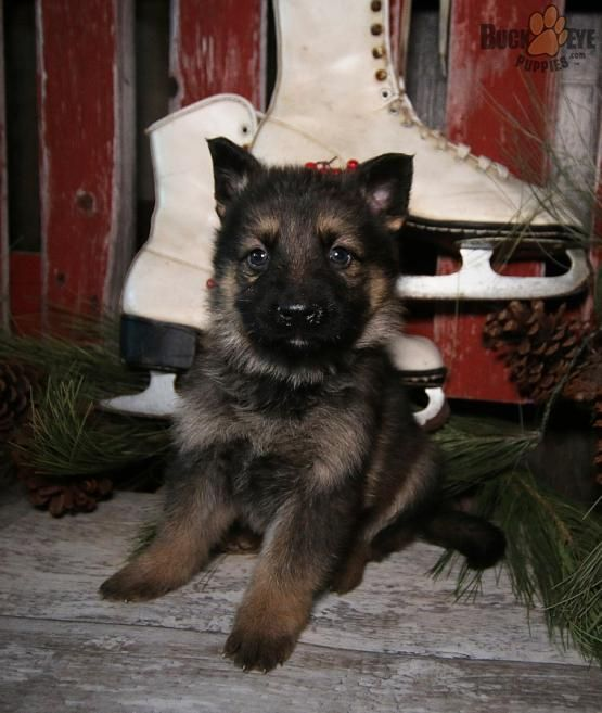 Pin By Rita Graves On Just Love It German Shepherd Puppies Lancaster Puppies Shepherd Puppies