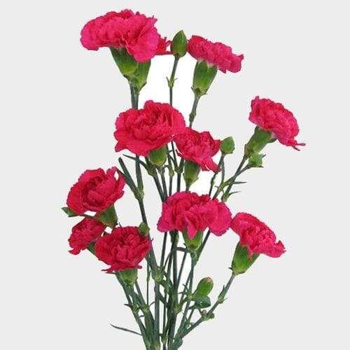 Budapest Carnation Carnations Flowers Carnation Flower