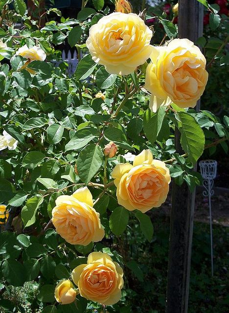 David Austin Roses~ Graham Thomas | Flickr - Photo Sharing!